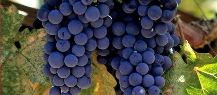 merlot-vineyard-napa-valley